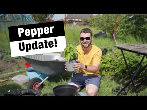 Chili Peppers Into Final Pots | Growing Chili's in Quadgrows | JBs Allotment Diaries