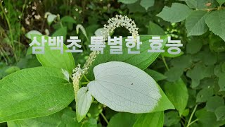 하얀 잎으로 변한 삼백초 놀라운 효능 20/243회