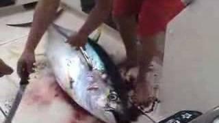 how to kill an ahi tuna part 1