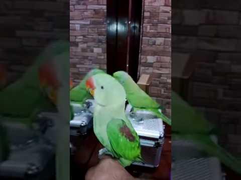 green parrot singing