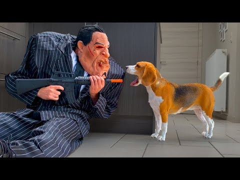 Dogs Vs Chub Suit Gangster Prank : Funny Dogs Louie and Marie