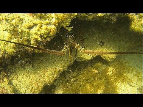 Key West Kayak Lobster - Catching Spiny Lobster