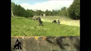Gorilla camina como un humano