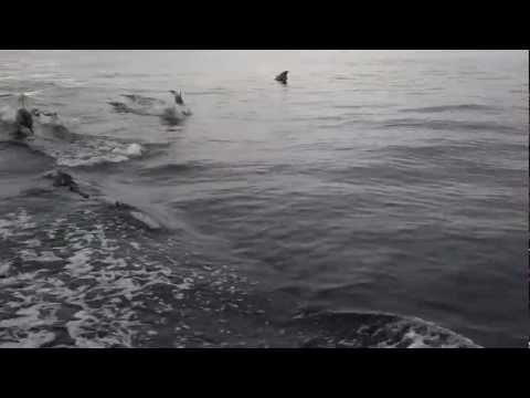 Dolphins chase the Spitfire in Santa Monica Bay, California
