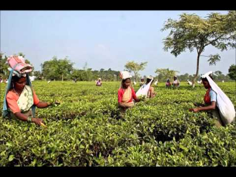 the-climate-change-and-indian-thea-production