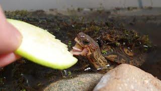 거북이 먹방의 포인트는 거북의의 '혀'입니다.