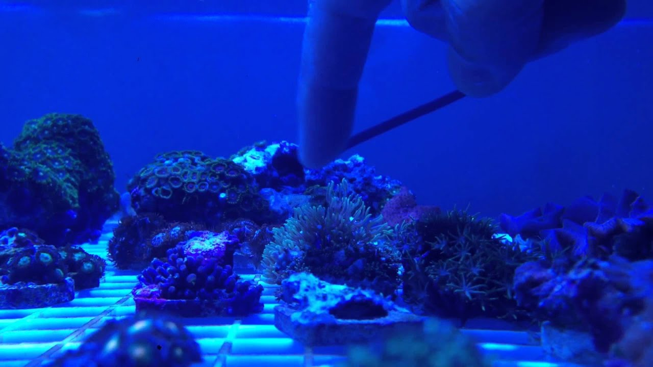 Live Coral Green Star Polyps  Briareum sp Live Coral Green Star Polyps  Briareum sp    YouTube. Green Star Polyp Lighting Requirements. Home Design Ideas