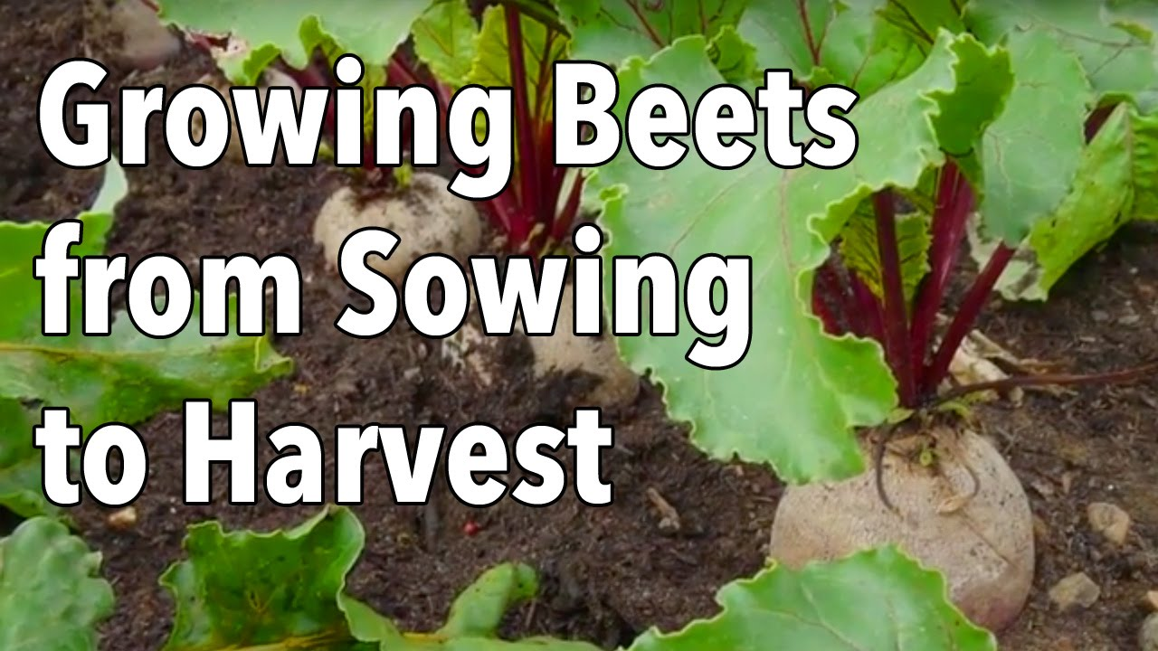 Growing Beets From Sowing To Harvest Youtube