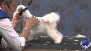 Grooming A Maltese In A Modified Pet Schnauzer Trim With Judy Hudson Ncmg