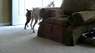Dog Fight!!!  English Bulldog Vs. Boxer Vs. Who's Here?