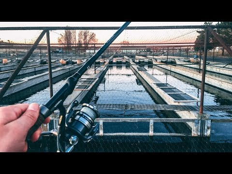 Fishing A Hatchery For MONSTER Trout!