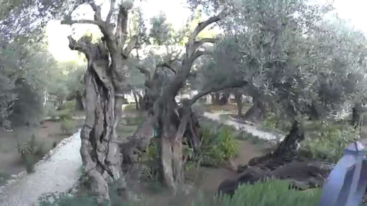 The Garden Of Gethsemane Jerusalem The Most Important Olive Trees In The World Youtube