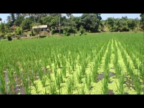 Free Nitrogenous Fertiliser from Azolla on Rice Paddies