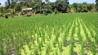 Free Nitrogenous Fertiliser from Azolla on Rice Paddies