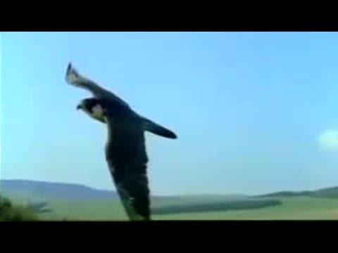 Speed Race: Pigeon Vs Peregrine Falcon - BBC Animals