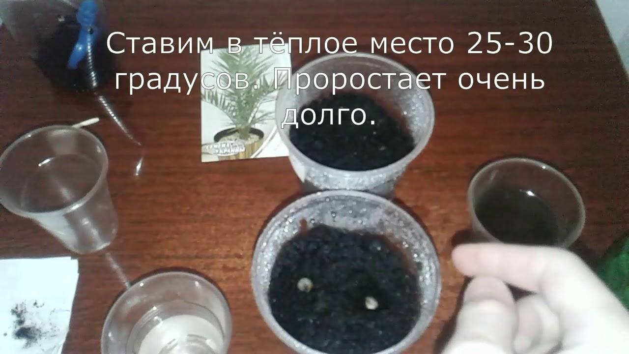 как посадить васильки из семян