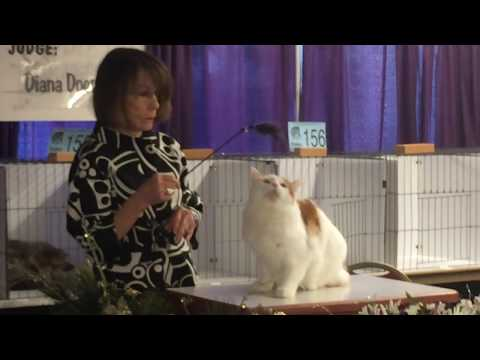 Bicolor Manx cat in Judges Ring at Portland Cat Show