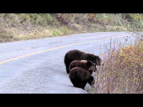 Bear with 3 Cubs - Waterton Lake National Park, Alberta, Candada