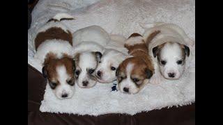 Coton de Tulear Puppies For Sale - Jolie 7/20/20