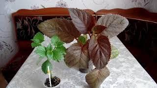 Знакомимся со смитикодонией. Кто ещё не знает, что это за растение?