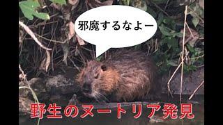 【野生のヌートリア発見】川で顔を洗っているヌートリアを見つけたので話しかけてみた