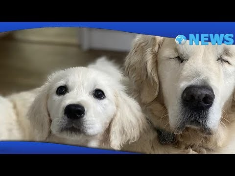 ✅-Blind-golden-retriever-Tao-gets-his-own-guide-dog-puppy