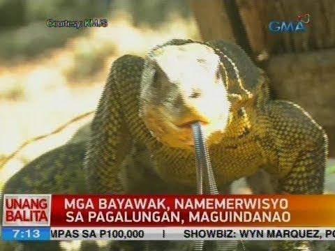 UB: Mga bayawak, namemerwisyo sa Pagalungan, Maguindanao