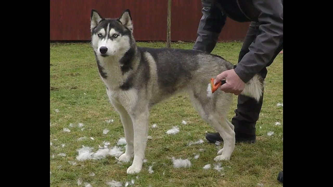 Lihkku Testing Best Dog Grooming Comb For Undercoat