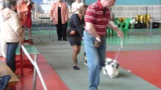 17.04.2016 выставка собак в Великом Новгороде
