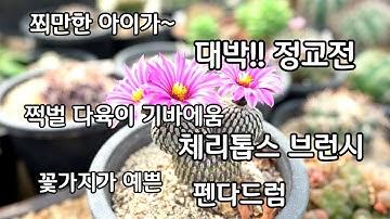 다육이 종류 기바에움 체리톱스 브런시 미니 선이장 정교전  꽃가지가 더 예쁜 펜다드럼