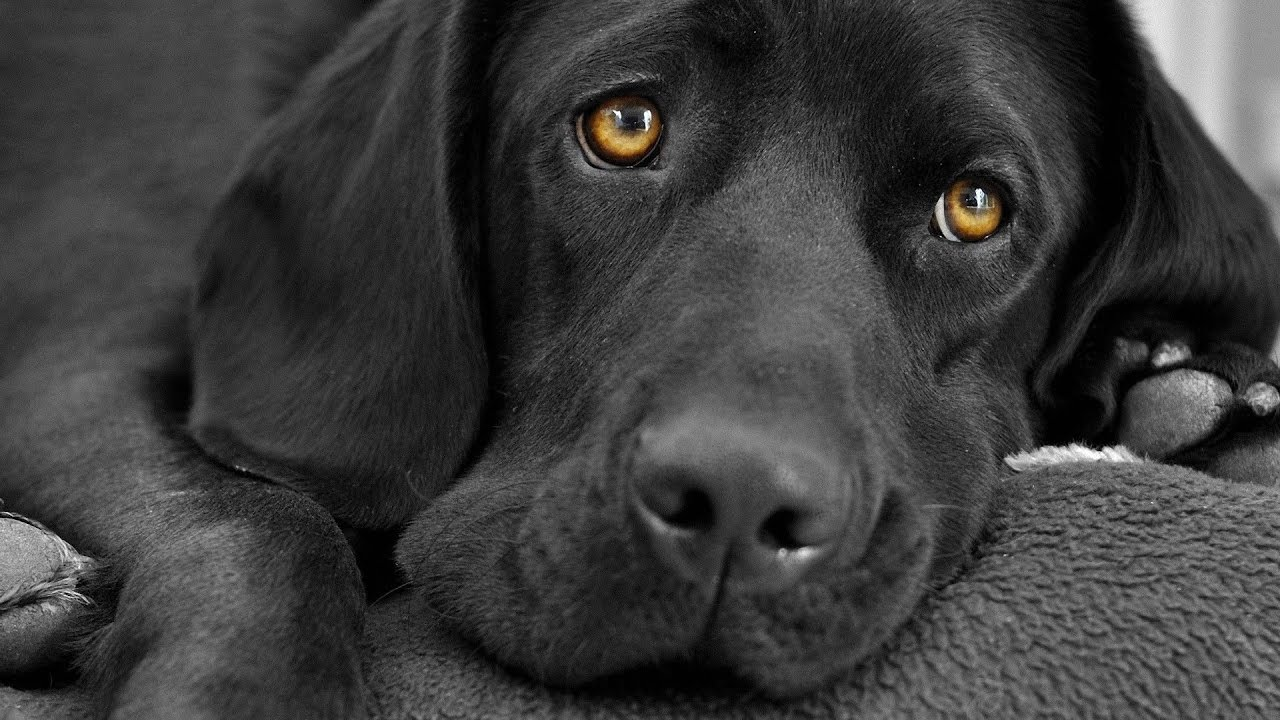 labrador black dog - youtube