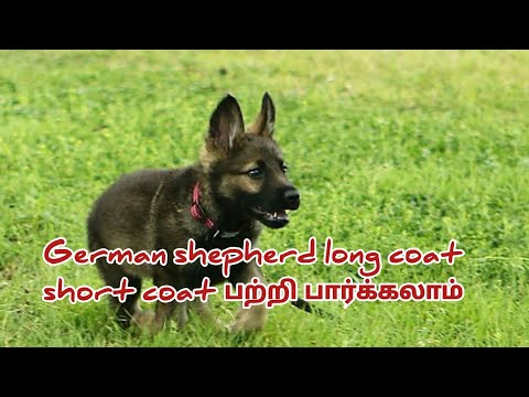 german-shepherd-long-coat-short-coat-difference-in-afc-gamings-channel-dog-maintenance-tips