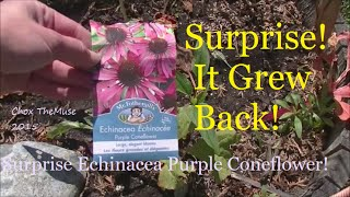 Surprise Echinacea May 16, 2015
