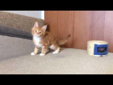 Котенок мейн-куна,AVRORA