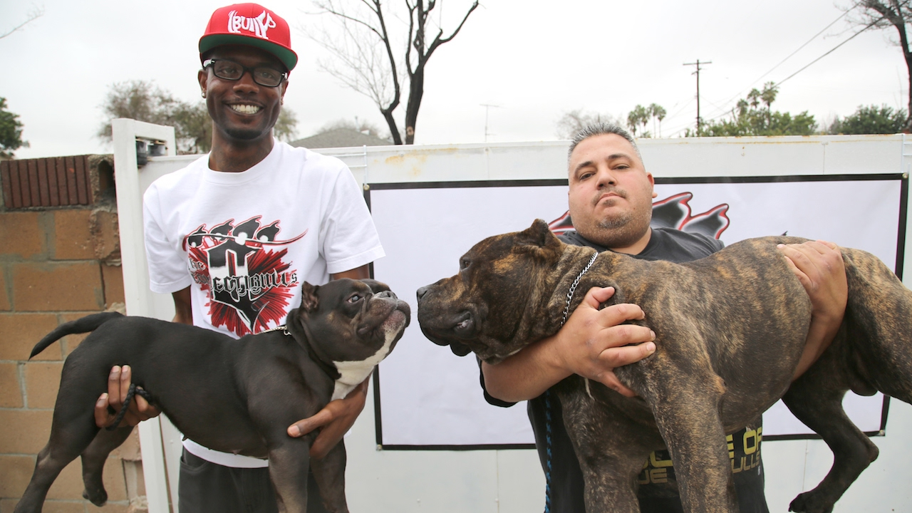 The 75 000 Micro Pit Bull Youtube