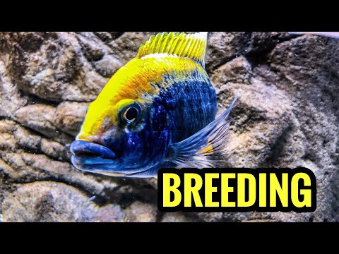 Breeding African Cichlids Is Easy!