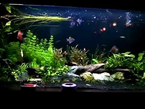My Comtank Arwana +aquascape Fish   YouTube