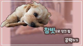참빗 싫어하는 강아지 엉킨 털 빗질하기(Feat.타짜)