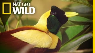 Download Video The Stunning Red Bird of Paradise | Wild Indonesia MP3 3GP MP4