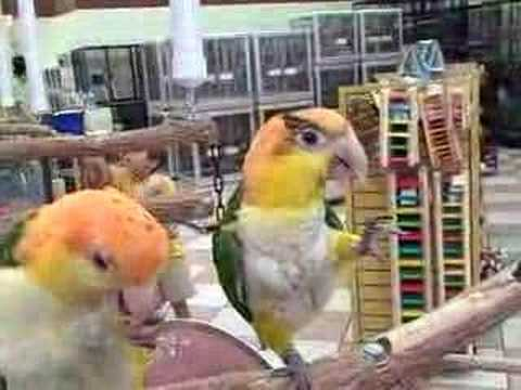 White Bellied Caique Babies Playing at Golden Cockatoo