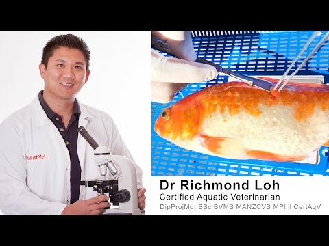 Goldfish Surgery Removing Lump Growth And How To Make A Fish Band Aid