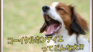 ペットで犬を飼おうと迷っている方へ〜コーイケルホンディエ〜 世の中に...
