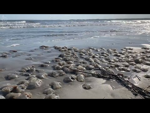Thousands Of Jellyfish Litter Hilton Head Island's Beach. Experts Say Its Normal.