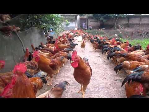 Mô hình chăn nuôi gà cỏ mía thả vườn