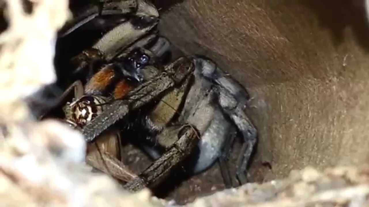 What Do Wolf Spiders Eat >> Carolina Wolf Spider Eats In Her Burrow Feeding Video Youtube