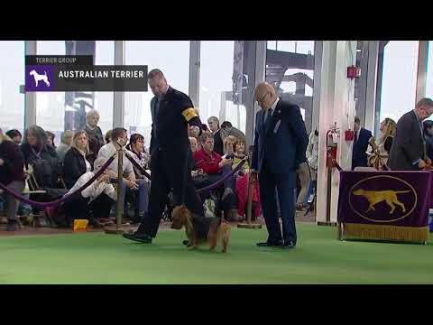Australian Terrier   Breed Judging 2019