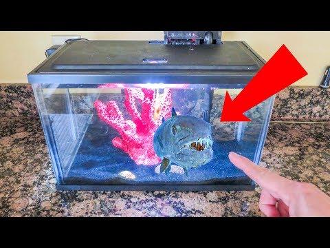 Nano Monster Tank!  FEEDING My Giant Frogfish + Setup