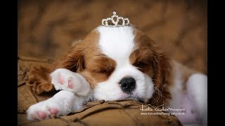 Cavalier King Charles Spaniel Lilly | Puppy's first studio photo session