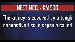 hqdefault - Kidney Is Enclosed By A Connective Tissue