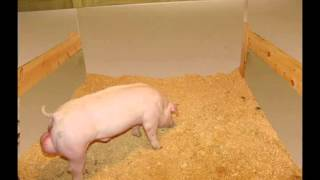 Show Pig: Pen Design, Feeders And Waterer